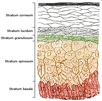 Schematic diagram of the layers of normal skin